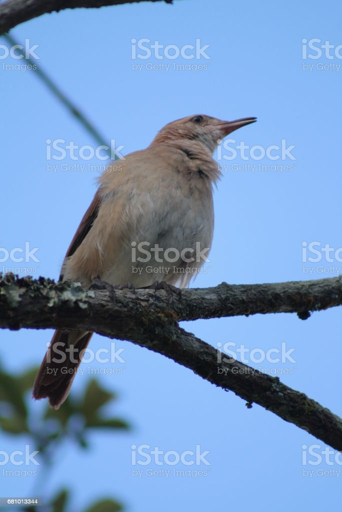Rufous Hornero - João de Barro royalty-free stock photo
