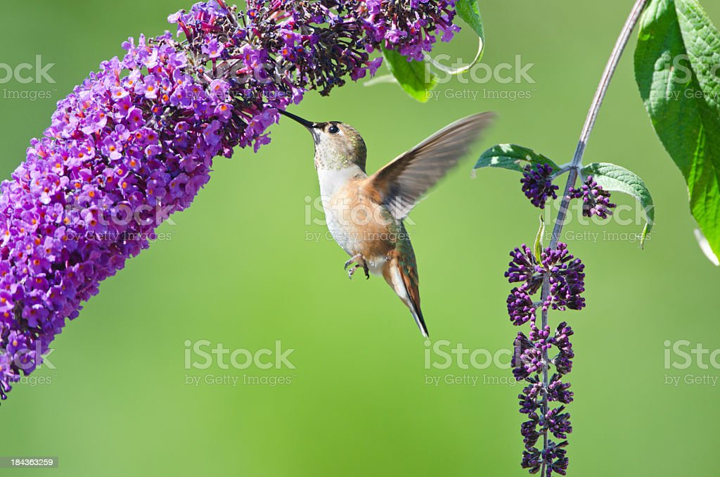 Rufous Hummingbird feeding on a Butterfly Bush XL stock photo