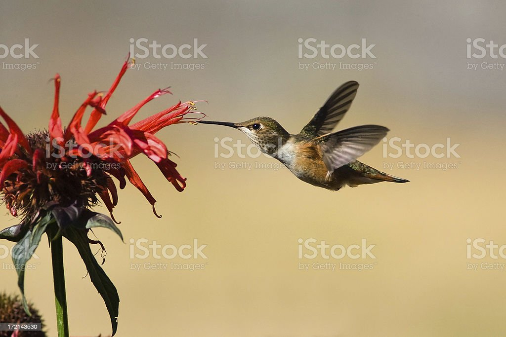A rufous hummingbird in flight stock photo