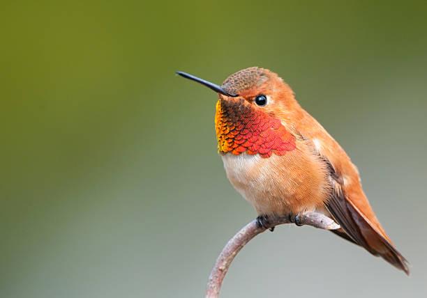 Colibri roux-homme - Photo