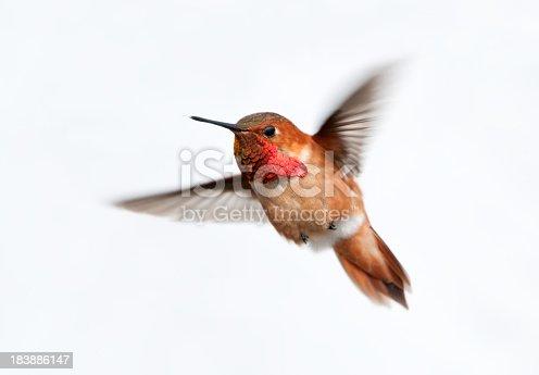 Male Rufous Hummingbird - White Background.