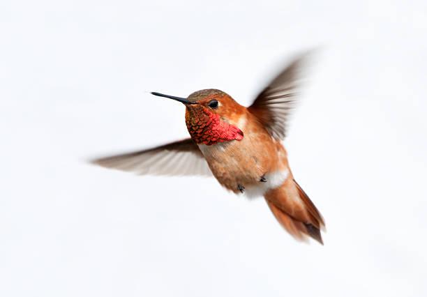Colibri roux homme-Fond blanc - Photo