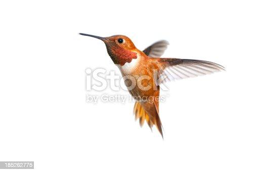 Male Rufous Hummingbird - White Background isolated