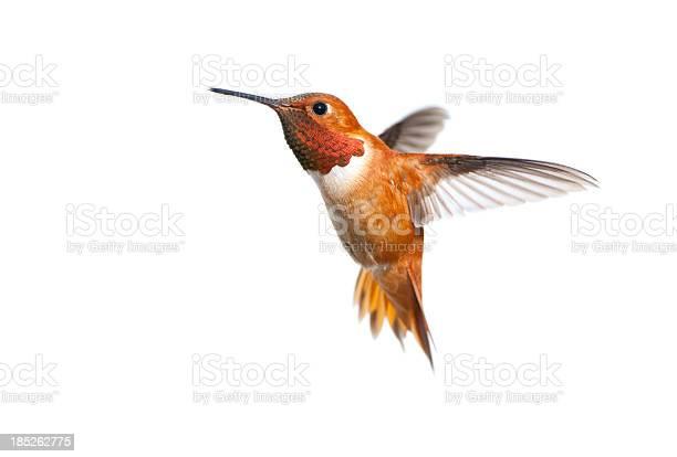 Rufous hummingbird male white background picture id185262775?b=1&k=6&m=185262775&s=612x612&h=ech7ctyoitbmc7cmupu9skvyn7kgkvntfuu o2lqfic=