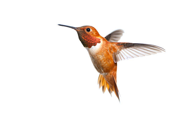 Rufous hummingbird male white background picture id185262775?b=1&k=6&m=185262775&s=612x612&w=0&h=59hhcolszyekplzk gltp7pxqerijne5i1c7oybbbja=