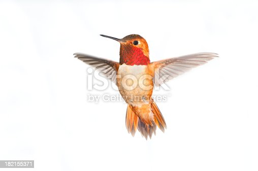 Rufous Hummingbird Male in flight. White background isolated. Wings have motion blurs.