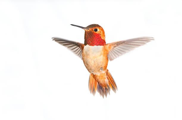 colibrí rufo macho-fondo blanco, xl - pájaro fotografías e imágenes de stock