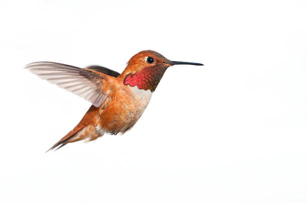 Rufous hummingbird male white background xl picture id184108459?b=1&k=6&m=184108459&s=612x612&w=0&h=fyhjtu0loxgwdxsz3t5pfjf0z z7rpxzb9nd1zimczw=