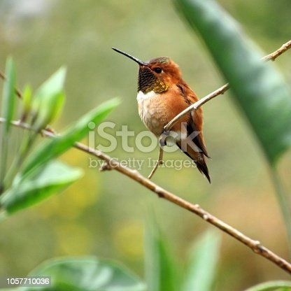 This is a rufous hummingbird, seeing one of these birds is very rare where I live. The fact, that I got the chance to capture one so clearly very fortunate. This picture was taken by Levi Zender