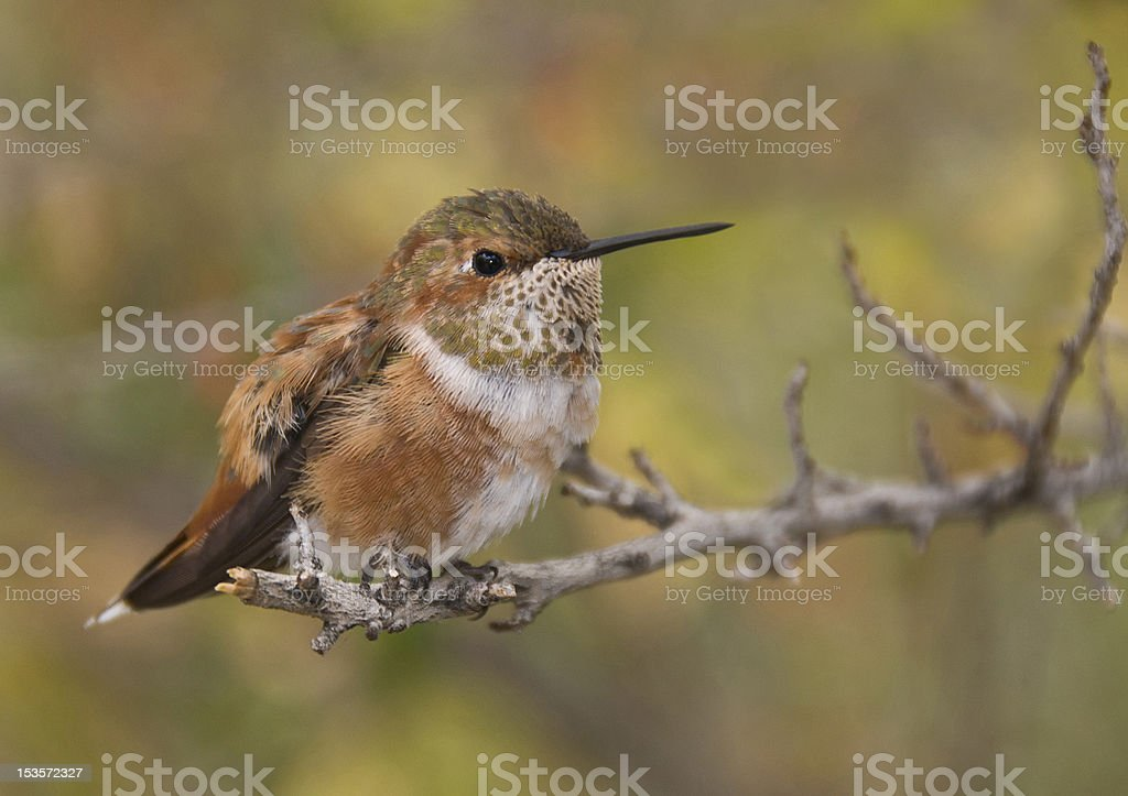 Rufous Hummingbird royalty-free stock photo