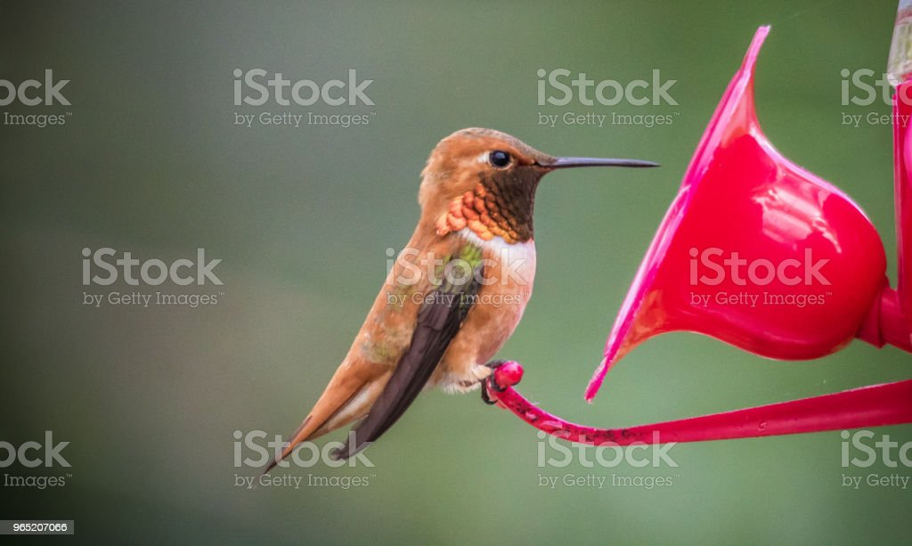Rufous hummingbird royalty-free stock photo