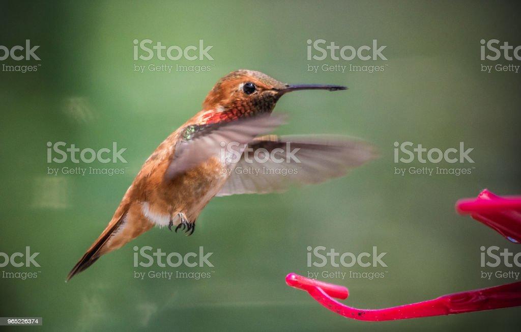 Rufous hummingbird zbiór zdjęć royalty-free