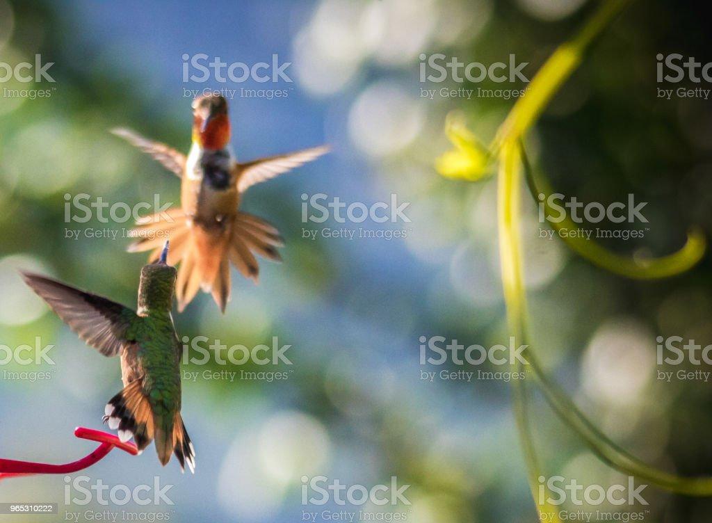 Colibri roux - Photo de Aile d'animal libre de droits