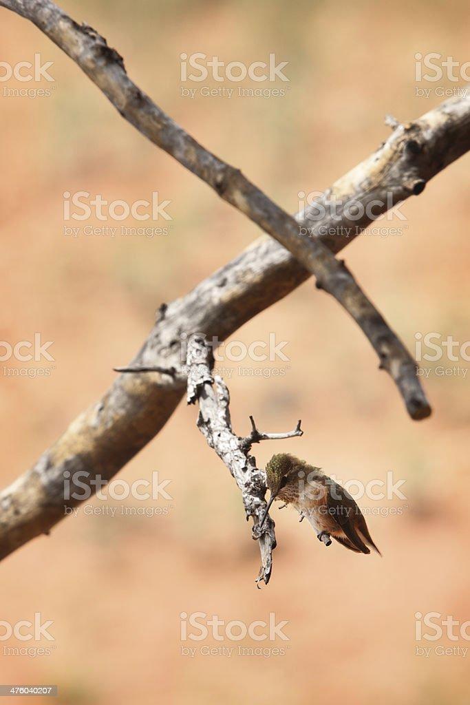 Rufous Hummingbird Selasphorus rufus Bird royalty-free stock photo