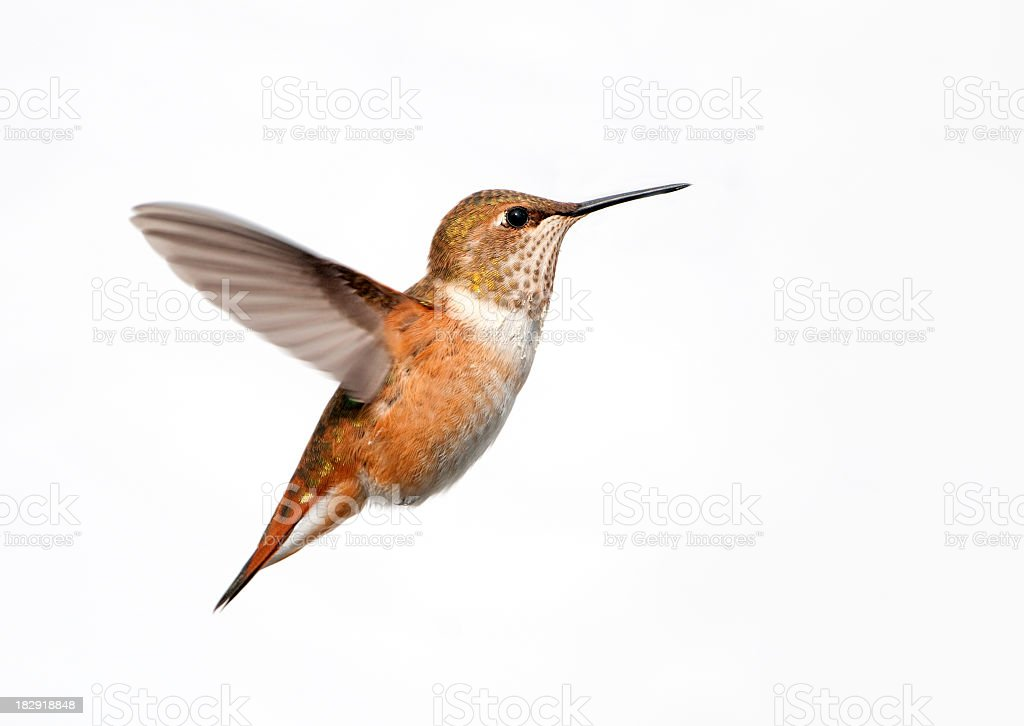 Rufous Hummingbird - White Background stock photo