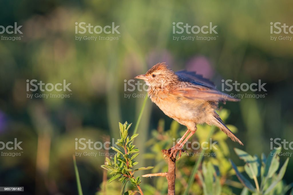 Rufous naped lark flapping wings - Royalty-free Animal Body Part Stock Photo
