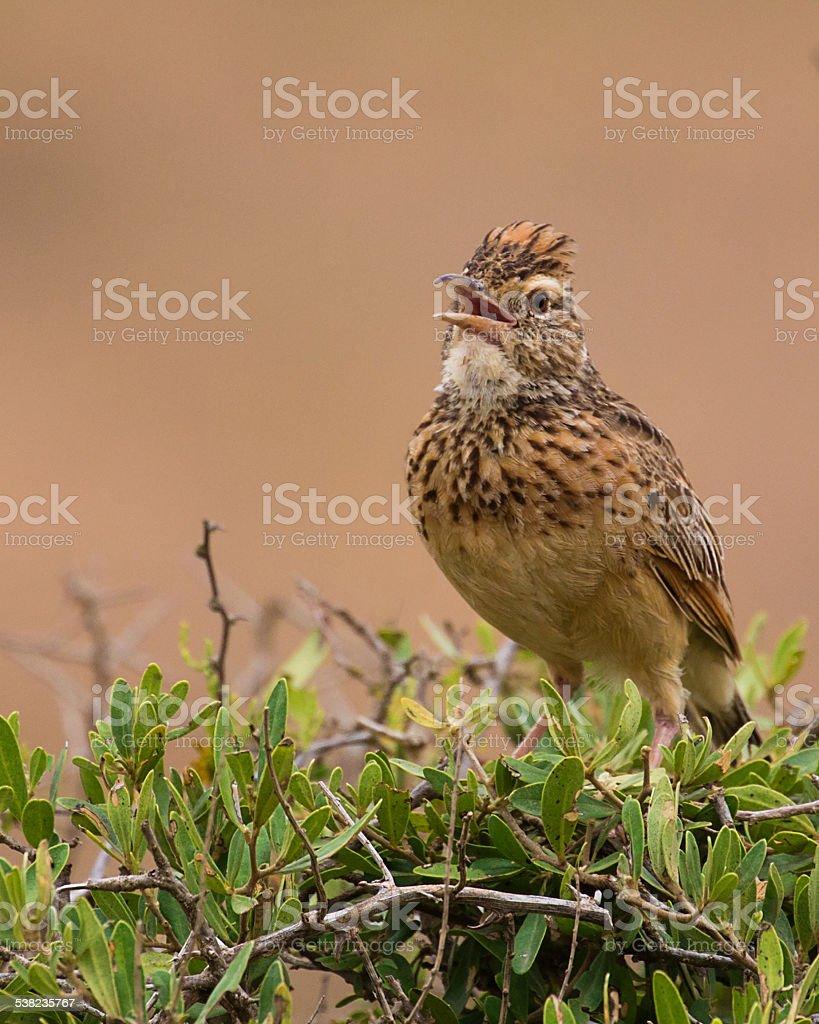 Rufous Naped Lark (Mirafra africana) Singing stock photo