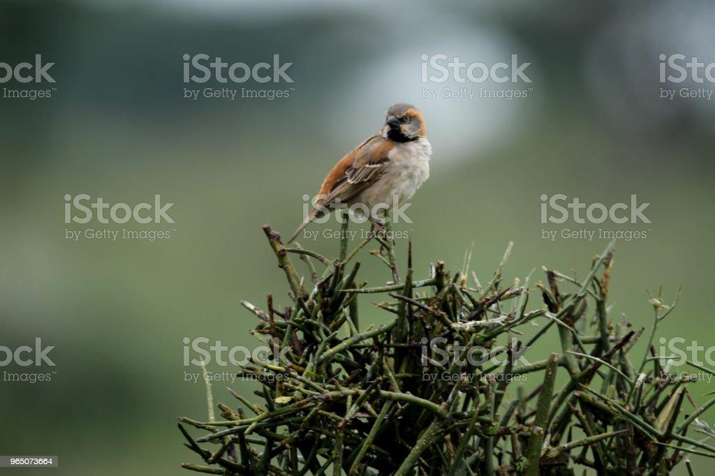 Rufous Sparrow zbiór zdjęć royalty-free