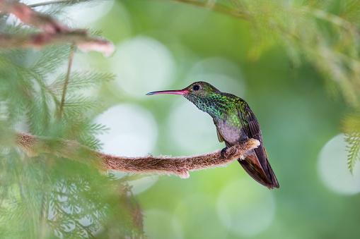 istock Rufous tailed hummingbird 916134294