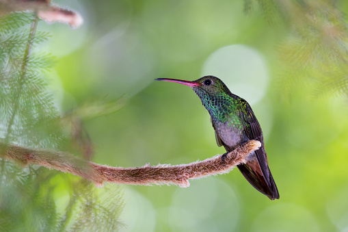 istock Rufous tailed hummingbird 916134580