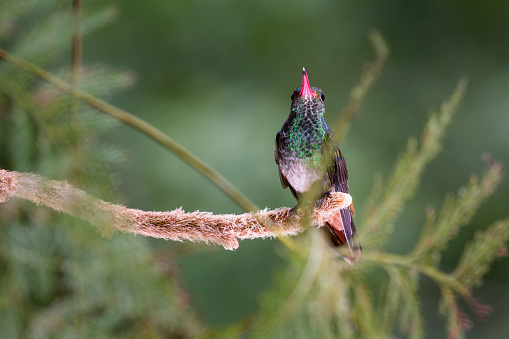 istock rufous tailed hummingbird 917324578