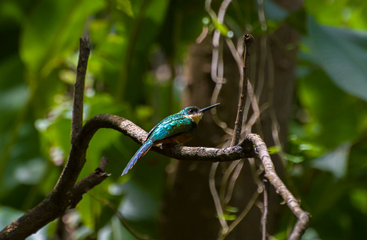 Rufous Tailed Jacamar Stock Photo - Download Image Now
