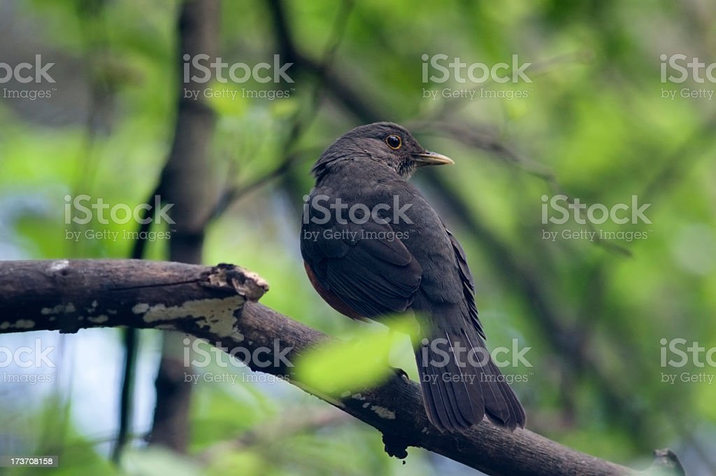 Rufous-bellied Thrush royalty-free stock photo