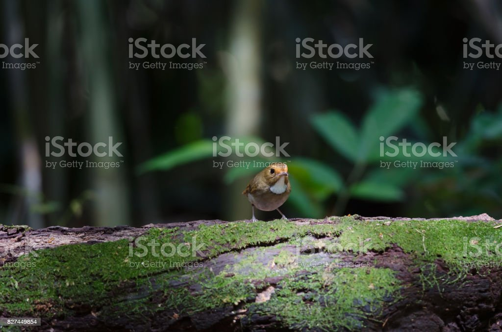 Rufous-browed Flycatcher perch in nature stock photo
