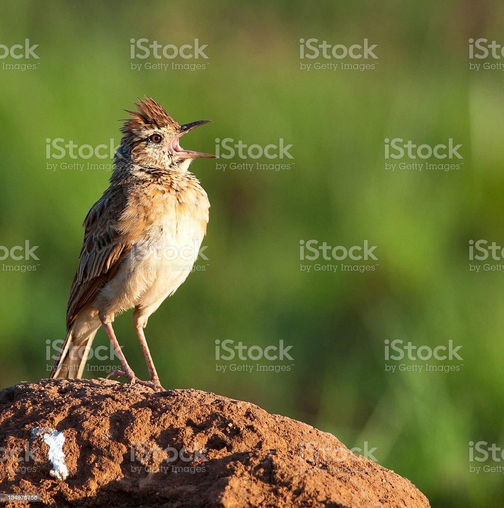 Rufous-naped Lark on mound calling stock photo