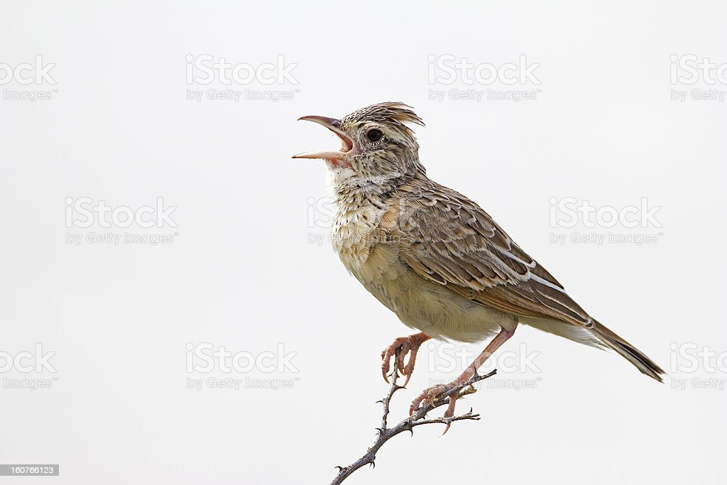 Rufous-naped lark stock photo