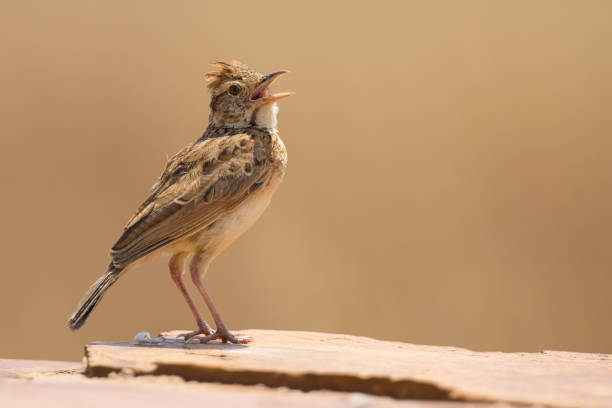 Rufous-naped lark sit on a rock and call to claim his territory stock photo