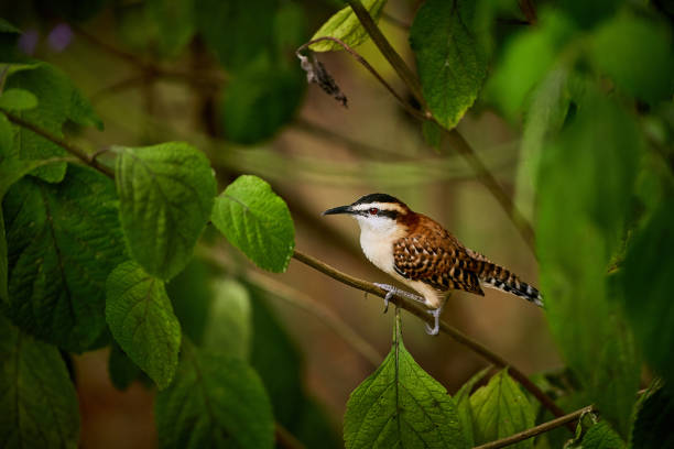 Rufous-naped wren (Campylorhynchus rufinucha)  sits on a branch. Beautiful colored bird from Costa Rica. stock photo