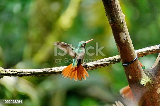 Rufous-tailed hummingbird (Amazilia Tzatcl) landing on a branch in the cloud forest in Mindo, Ecuador