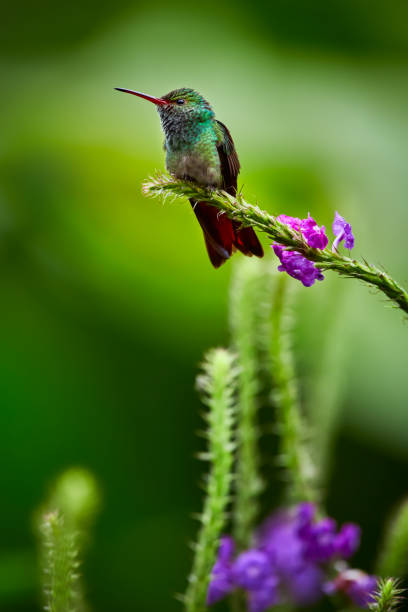 Rufous-tailed Hummingbird (Amazilia tzacatl) posing on a tree branch. Wildlife scene from Costa Rica. stock photo