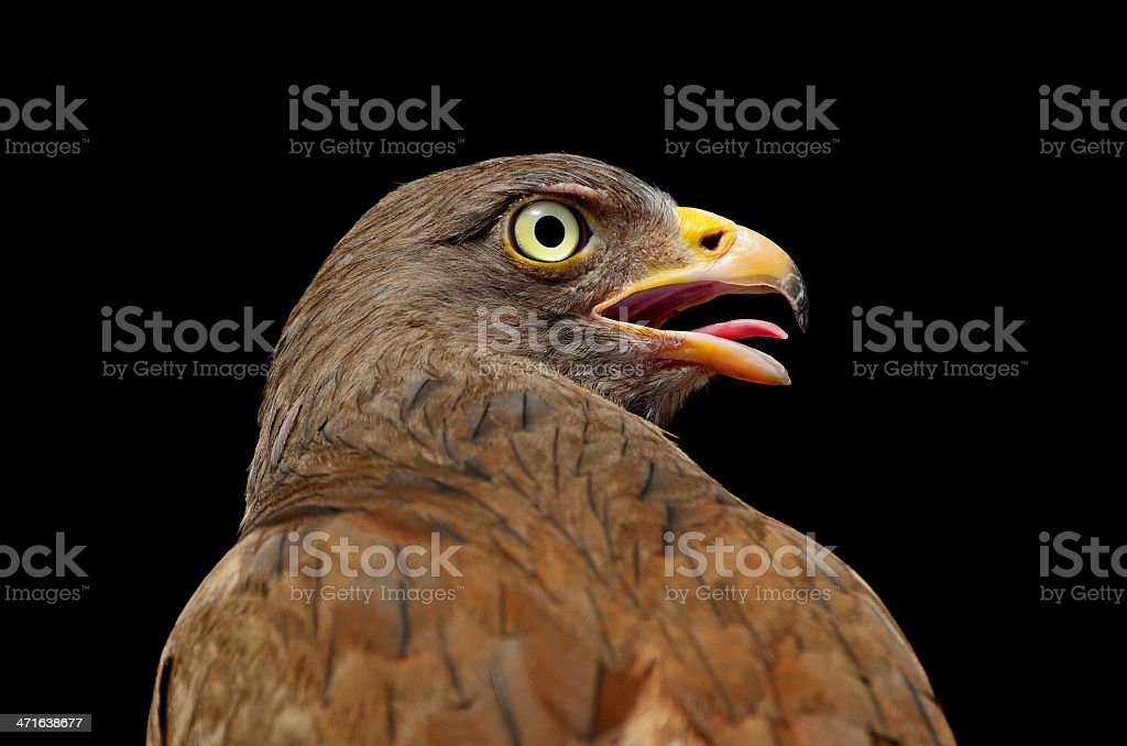 Rufous-winged Buzzard royalty-free stock photo