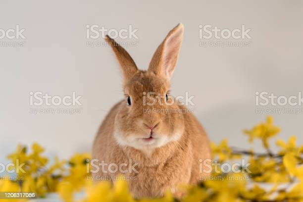 Rufus bunny rabbit centered with yellow forsythia flowers mouth open picture id1206317086?b=1&k=6&m=1206317086&s=612x612&h=zzmsawvnp0zaa 5hx7jirdj0wih4kp en 8c 2rkf7s=