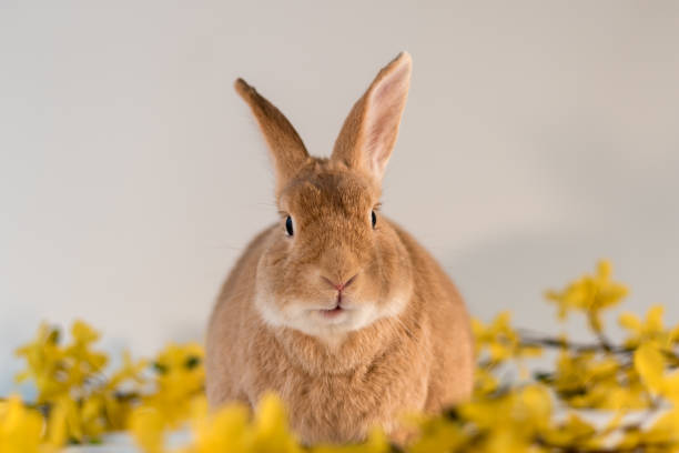Rufus bunny rabbit centered with yellow forsythia flowers mouth open picture id1206317086?b=1&k=6&m=1206317086&s=612x612&w=0&h=e1x5a4iefii k6n3bdz50xjy10kjcrr ew6tfypncik=