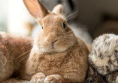 Beautiful Rufus, tan and white bunny rabbit indoors, portrait, in soft lighting, neutral tones