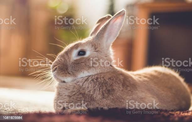 Rufus bunny rabbit relaxes next to shag carpet in warm tones vintage picture id1081925584?b=1&k=6&m=1081925584&s=612x612&h=pyqigjfsjhvveytur7vb 4tfm5olc6c iiobqwaa9v8=