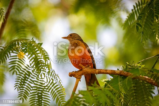 istock Rufus-bellied Trush perching on a branch framed with filigrane leaves,defocused background, Bom Jardim, Mato Grosso, Brazil 1178944579