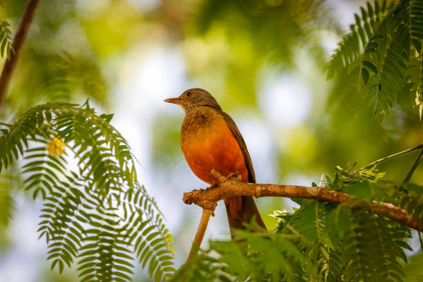 Rufus-Bauchtrush perching auf einem Zweig mit Filigranblättern gerahmt, defokussierten Hintergrund, Bom Jardim, Mato Grosso, Brasilien – Foto