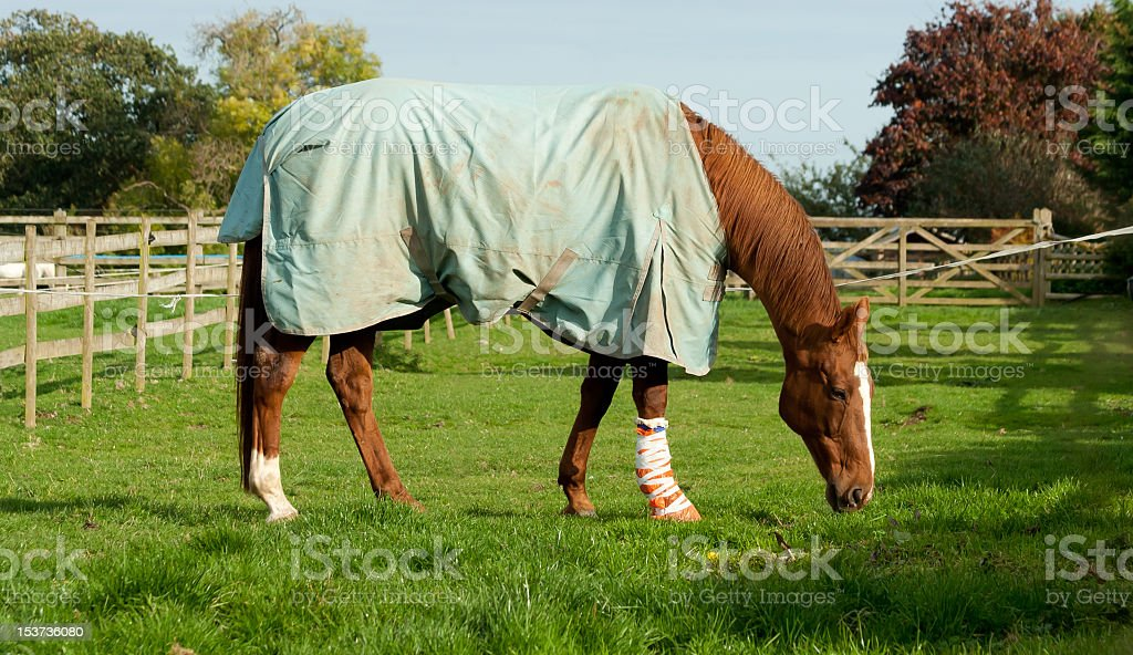 Rugged and bandaged injuried horse recuperating on grass stock photo