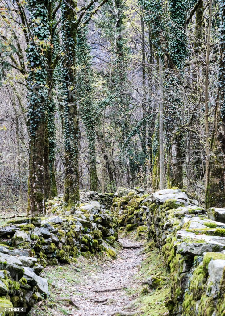 rugged hiking path through thick forest covered in vines and plants and flanked by traditional old dry rock walls covered in lush moss stock photo