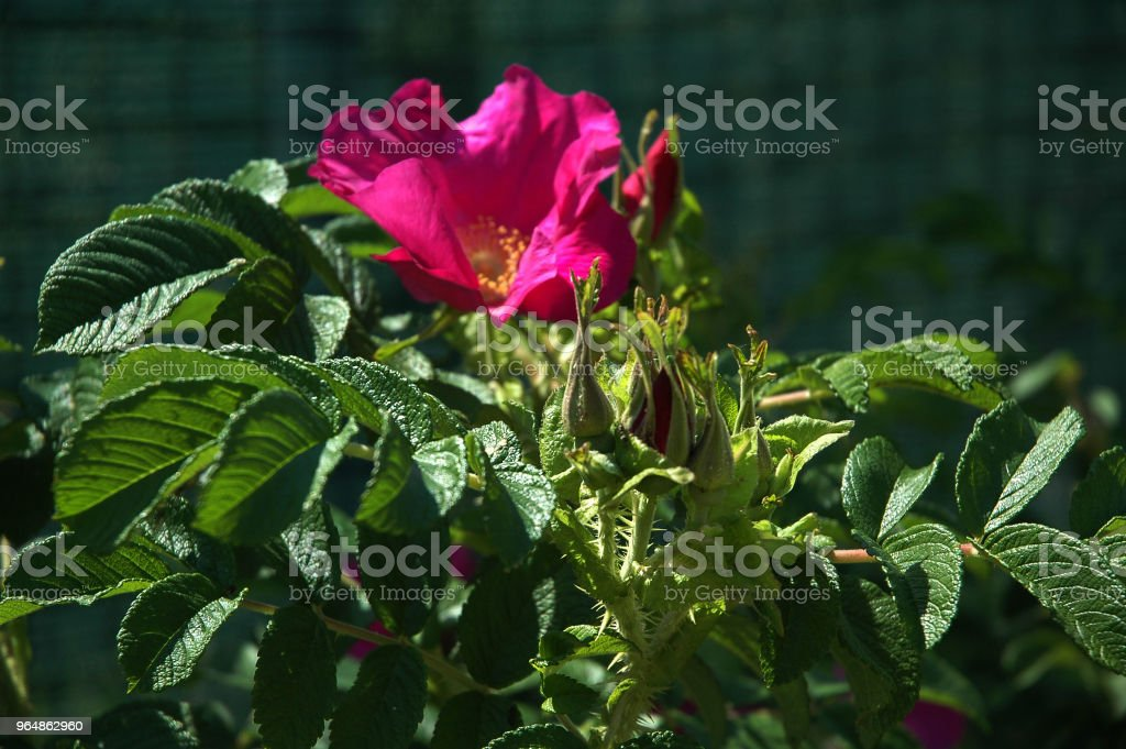 Rugosa Rose royalty-free stock photo
