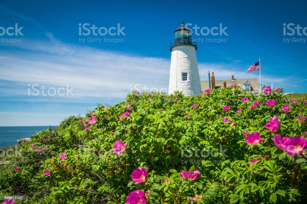 Rugosa Roses at Pemaquid stock photo