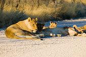 Lioness rests on rocky ground at sunrise in Etosha national park, Namibia