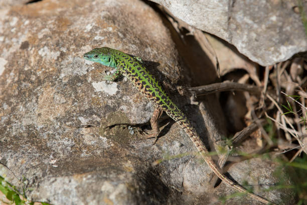 ruine Lizard on a stone ruine lizard sits on a stone and enjoys the heat of the summer. very rare lizard species. Very nice green colored . ruine stock pictures, royalty-free photos & images