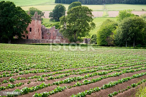 An old abandoned stone building stands in the distance beyond a crop of potatoes growing in a field near Brechin, Angus, Scotland, UK, Europe