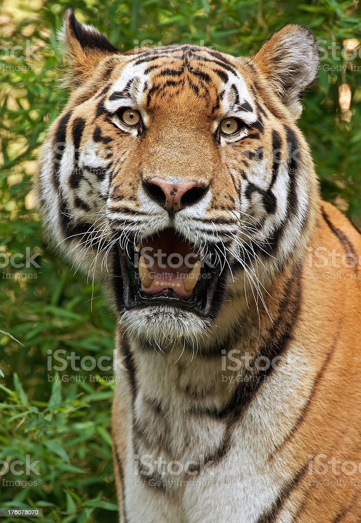 Ruler Of The Jungle royalty-free stock photo