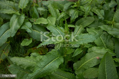 Rumex crispus fresh foliage